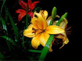 Фото бесплатно флора, растения, лилии
