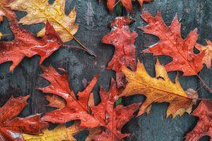 Фото бесплатно осень, кленовые листья, осенние листья