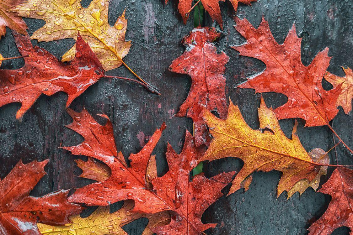 Фото бесплатно осень, кленовые листья, осенние листья - на рабочий стол