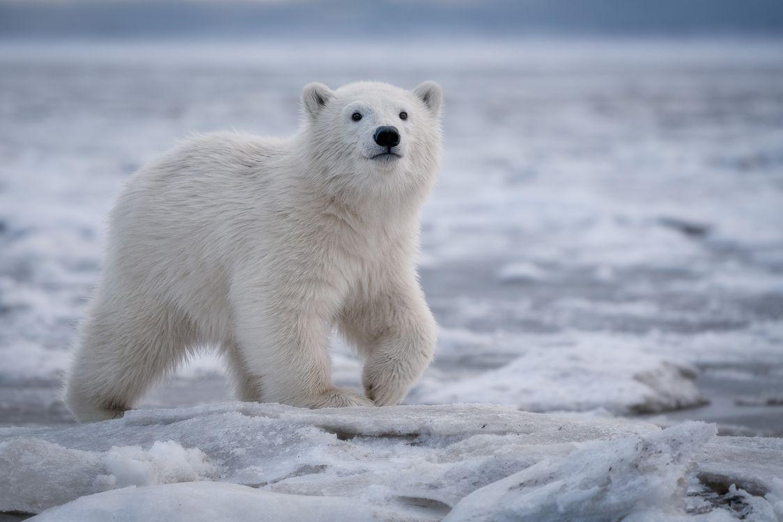 Фото бесплатно полярный медвежонок белый медведь полярный медведь - на рабочий стол