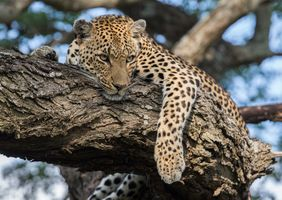 Download leopard · free photo