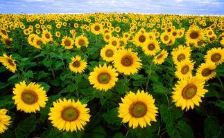 Бесплатные фото подсолнух,подсолнухи,цветы,флора,поле