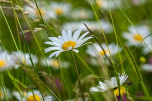 Бесплатные фото поле,ромашки,трава,цветы,макро,флора