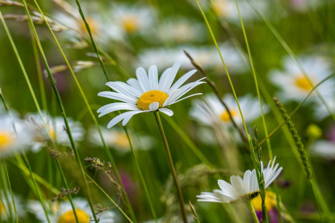 Фото бесплатно поле, ромашки, трава, цветы, макро, флора, цветы