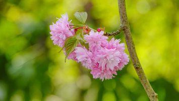 Вишневая веточка с цветами