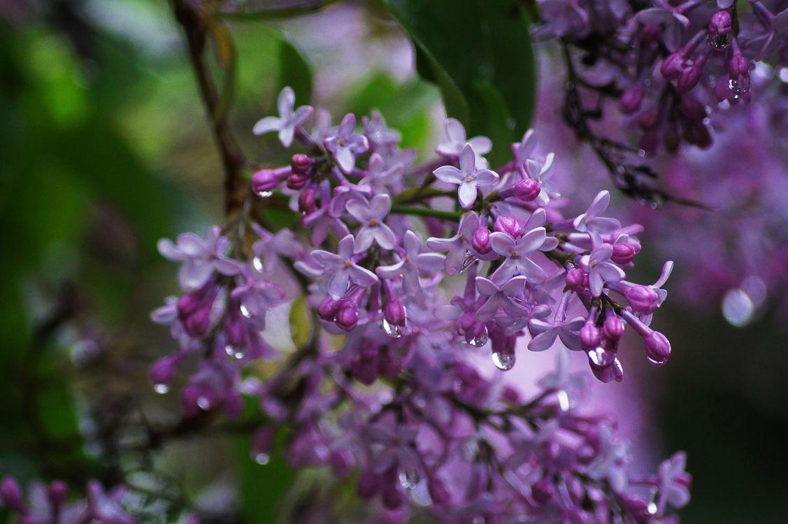 Обои флора, капли, сирень картинки на телефон