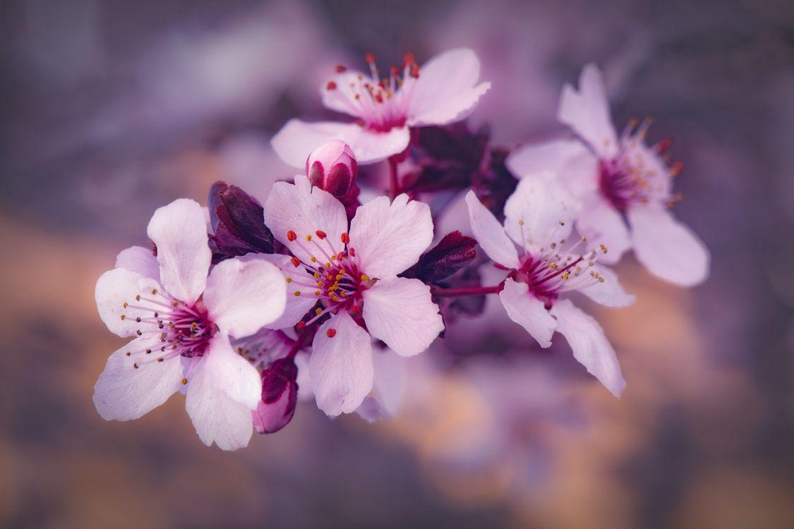 Фото бесплатно весенняя природа, цветущая ветка, цветы, sakura, Cherry Blossoms, ветка, флора, весна, цветение, цветы