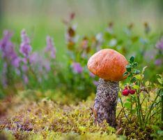 Бесплатные фото гриб,подосиновик,подосиновый,мох,брусника,природа,макро