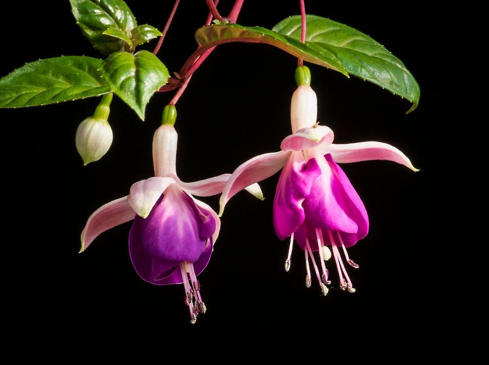 Фото бесплатно флора, Комнатный цветок фуксия, Fuchsia gracilis - на рабочий стол