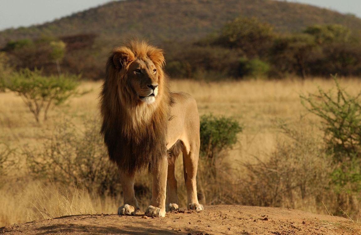 Лев осматривает свои владения · бесплатное фото