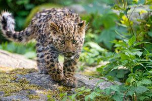 Заставки животное, молодой леопард, большая кошка