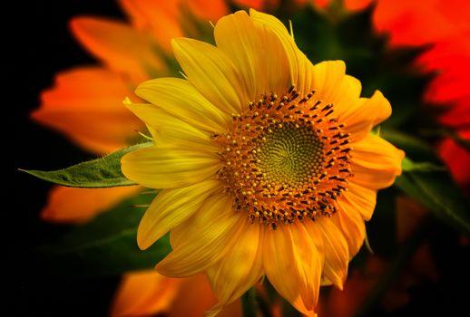 Фото бесплатно подсолнух, цветение, цветок