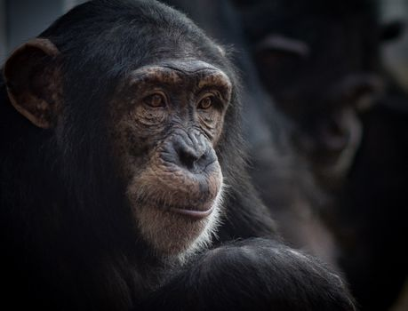 Photo free A chimpanzee, a monkey, a genus of the family of hominids