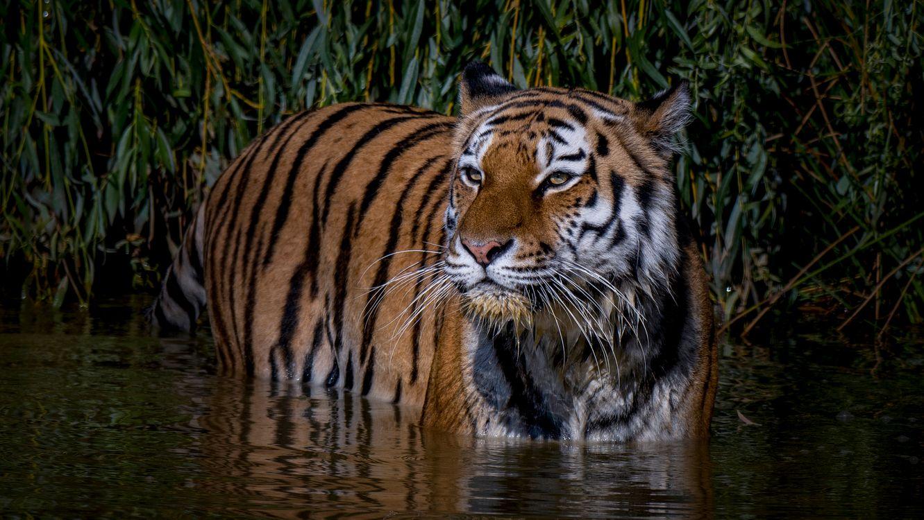 Обои Амурский тигр, хищник, животное картинки на телефон