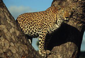 Подросток леопарда