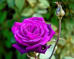Photo free rose, purple roses, flowers