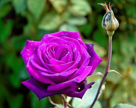 Скачать цветы, розы обои бесплатные