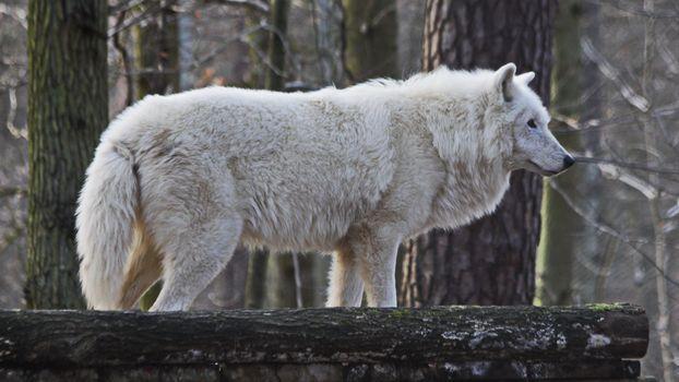 Photo free white wolf, stately, fur