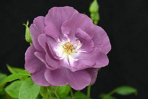 Фото бесплатно роза, розы, пурпурные розы