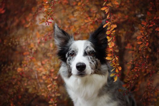Border Collie on background barberry berries · free photo