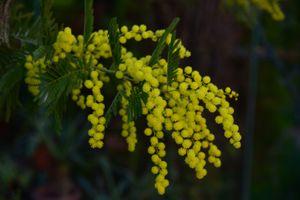 Бесплатные фото мимоза,цветы,ветка,флора