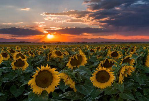 Восход солнца и поле подсолнухов · бесплатное фото