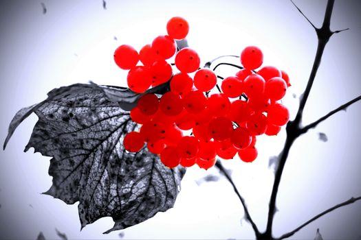 Бесплатные фото природа,лес,ягоды,красные ягоды,увядший лист