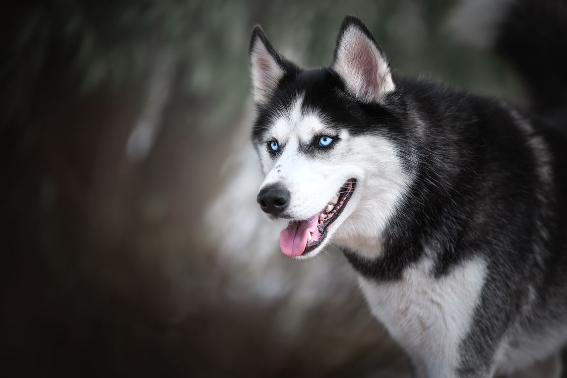 Портрет сибирского хаски · бесплатное фото