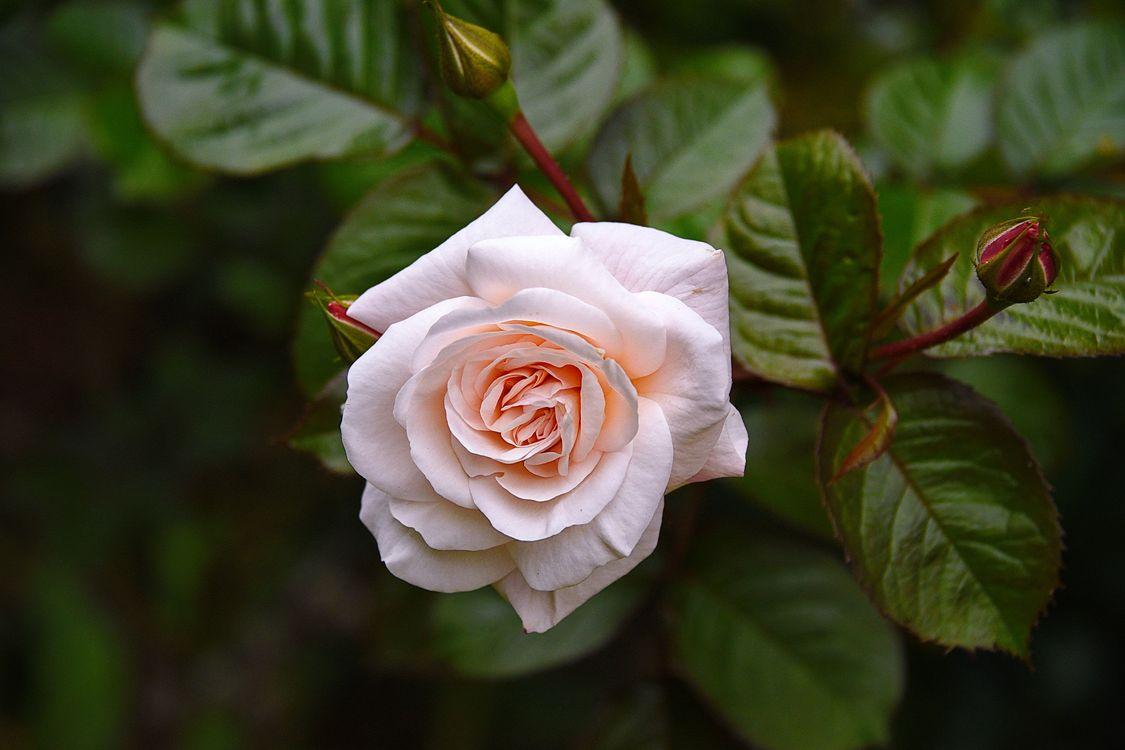 Белая роза по центру · бесплатное фото