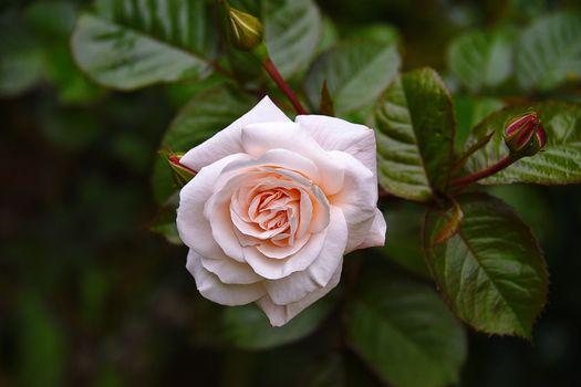 Белая роза по центру