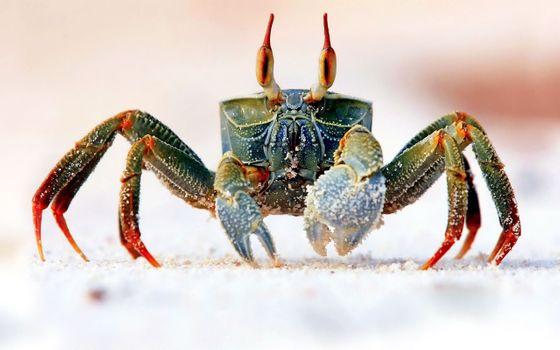 Photo free animal, Bing, crab