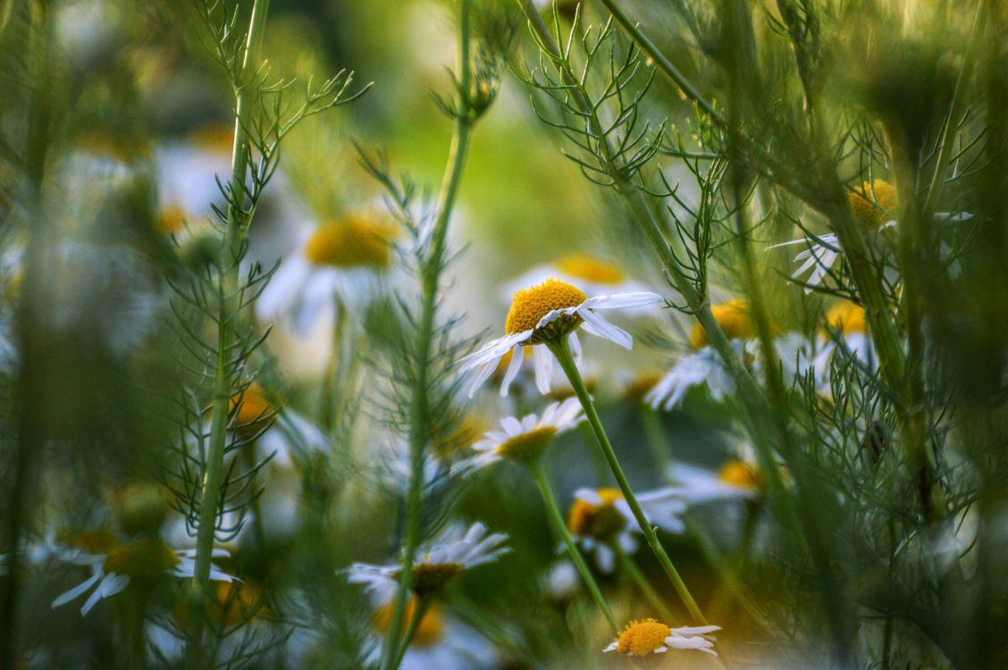 Фото бесплатно ромашки, цветы, флора, макро, цветы