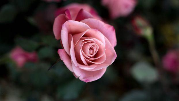 Фото бесплатно роза, куст, природа