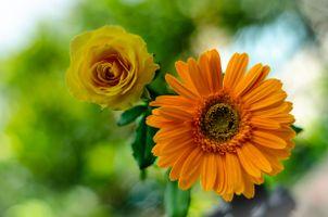 Фото бесплатно цветы, гербера, роза