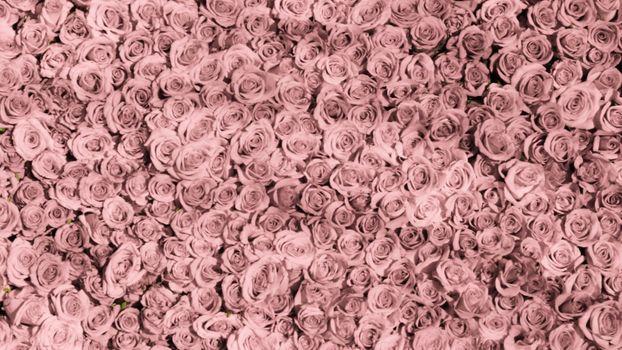 Photo free rose, pink, lot