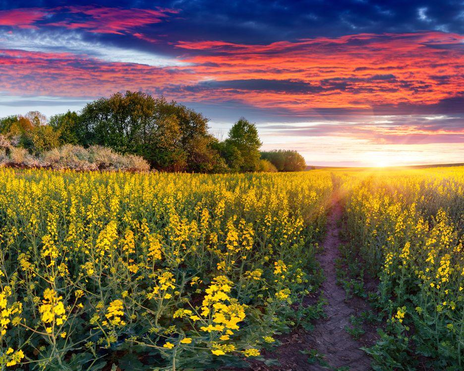Рапсовое поле на закате · бесплатное фото