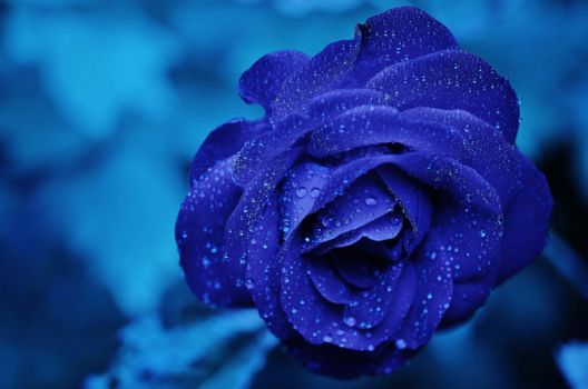 Blue rose on a blue background · free photo
