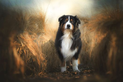Mountain Dog in field · free photo