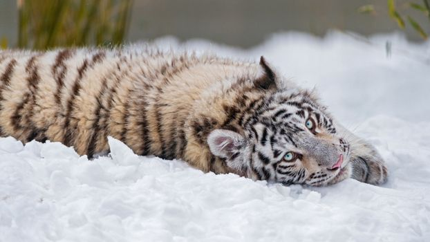 Tiger cub fell apart in the snow · free photo