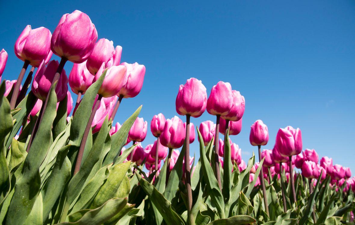 Фото бесплатно поле, тюльпаны, красные, синее, небо, цветы