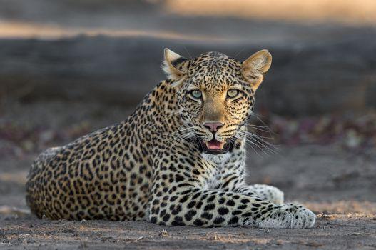 Заставки позирует, животное, леопард