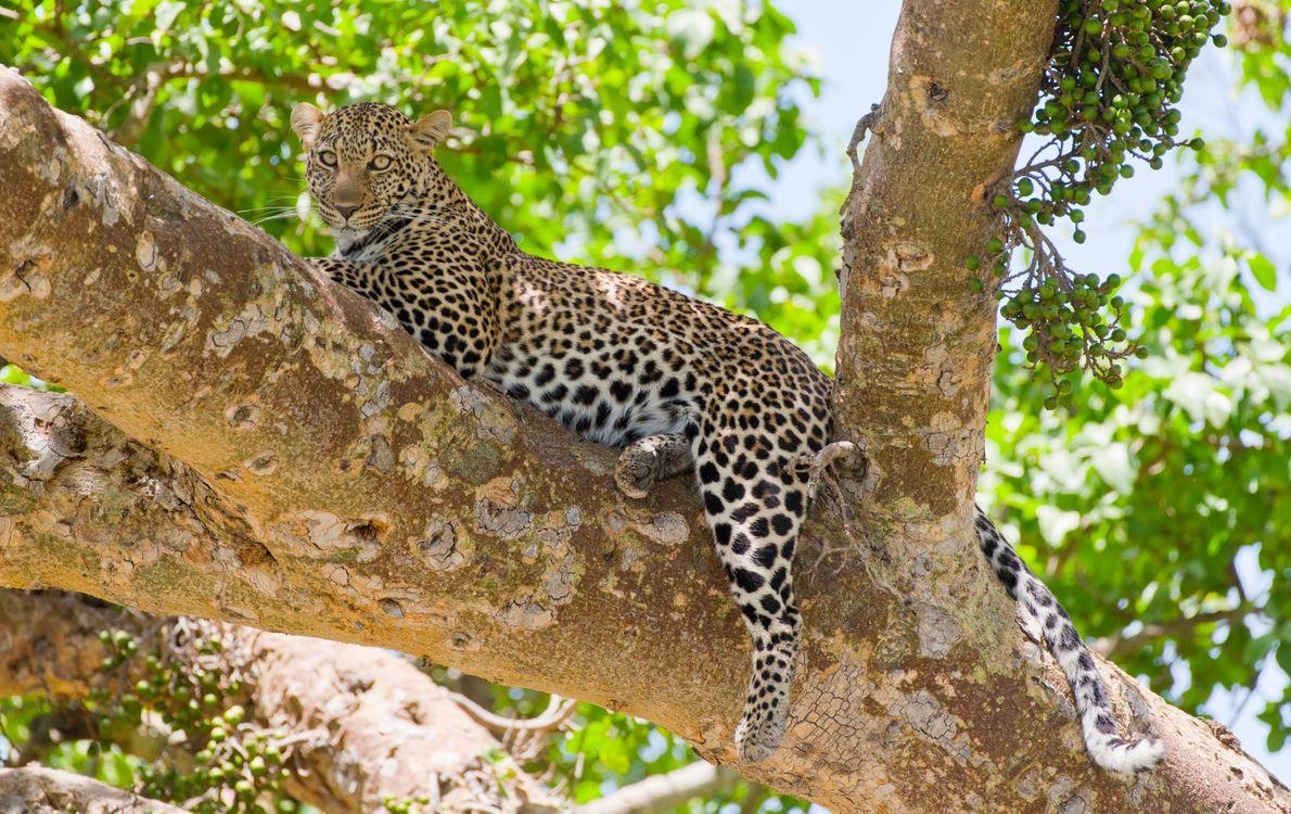 Леопард на девере · бесплатная заставка