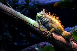 Photo free Iguane, Common iguana, a large herbivorous lizard of the family of iguanids