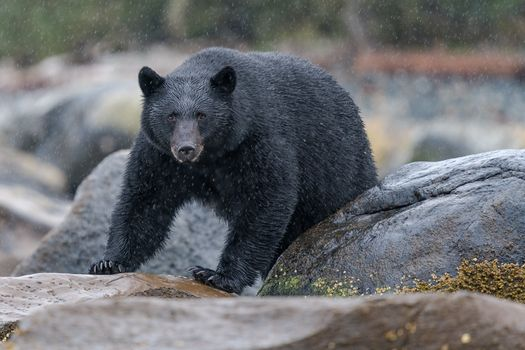 Bear in the rain