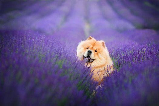 Собака в лавандовом поле · бесплатное фото