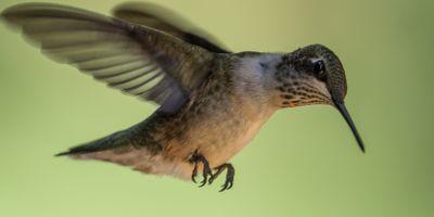 Фото бесплатно колибри, ruby throated, hummingbird