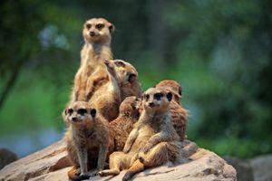 Фото бесплатно meerkat, на солнце, отдыхают