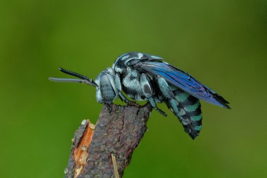 Photo free the bee-cuckoo, Cuckoo Bee, macro