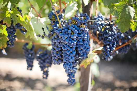 Photo free fruit, grapes, nap