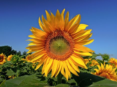 Заставки цветы, подсолнух, флора